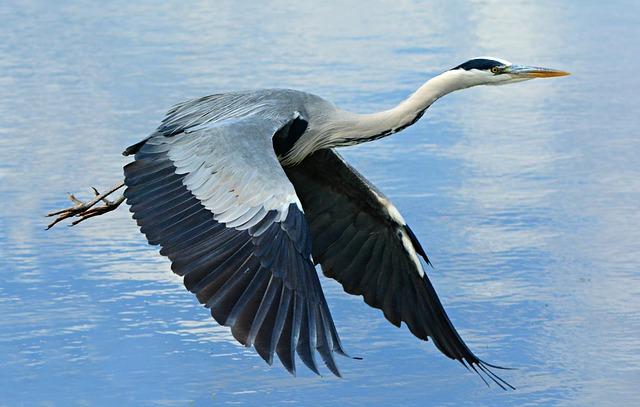 Heron, Wading Bird, Animal, Feather, Plumage, Beak