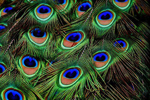 Peacock Feathers, Plumage, Iridescent, Animal, Peacock