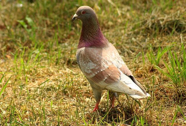 Dove, Bird, Plumage, Freedom, Pen, Nature, Park