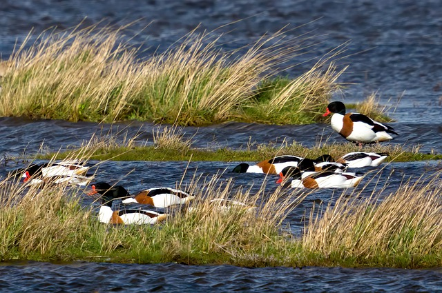 Duck, Marsh, Bird, Nature, Plumage, Water, Pen, White