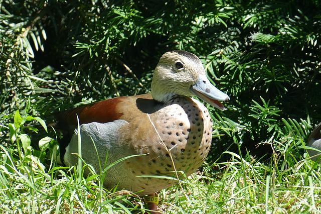Plumage, Colorful, Mandarin Ducks, Pond, Water Bird