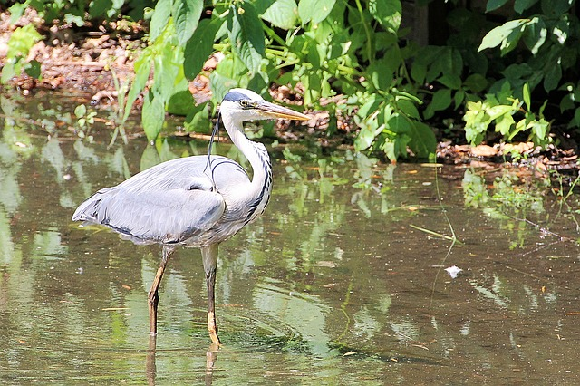 Grey Heron, Heron, Eastern, Bird, Water, Plumage