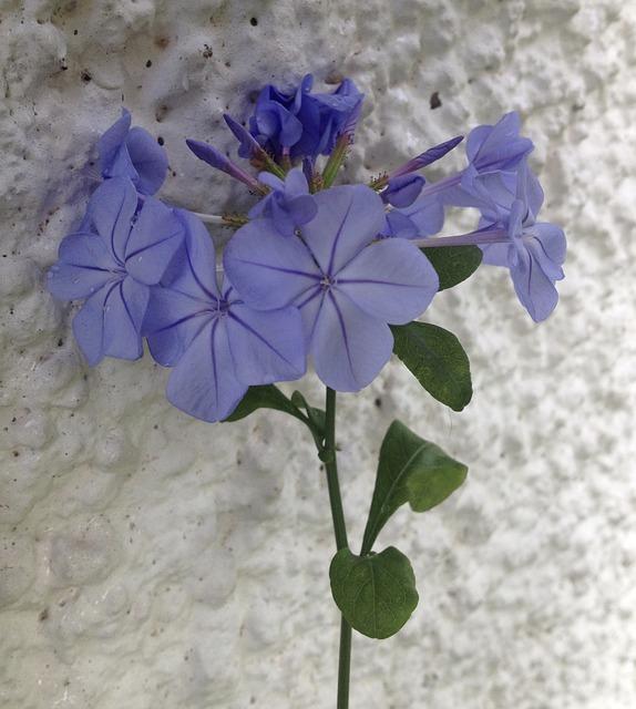 Plumbago, Blue, Flower, Nature, Plant, Floral, Bloom