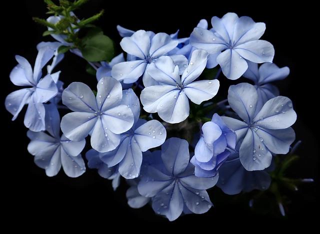 Plumbago, Blue, Flower, Raindrops, Climber, Shrub
