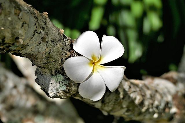 Flower, Plumeria Alba, Frangipani, Blossom, Bloom