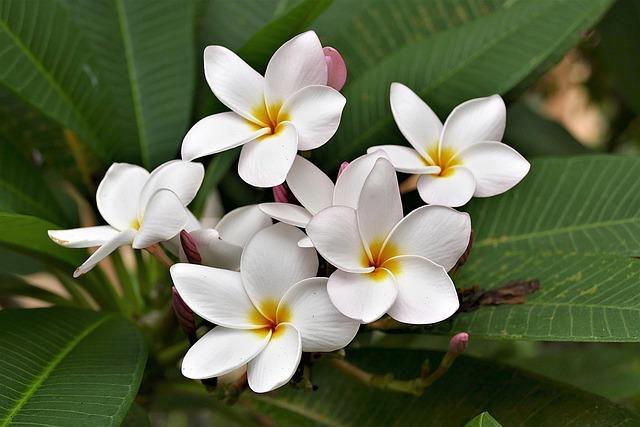 Flowers, Frangipani, White, Plumeria Alba, Exotic