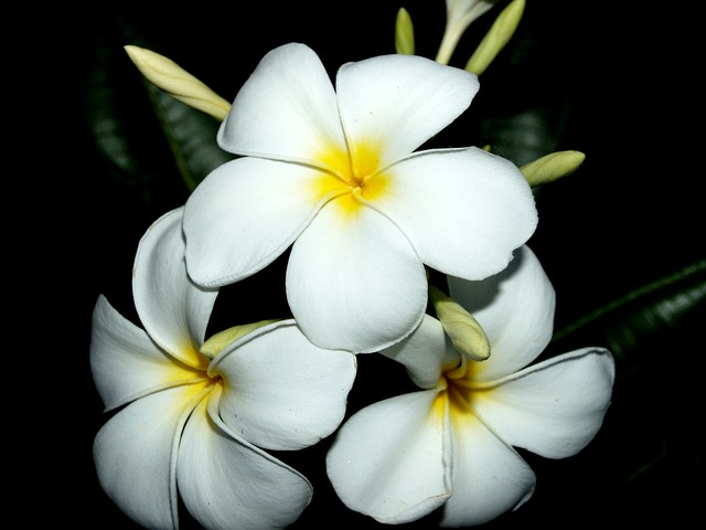 Plumeria, Closeup, Tree, Decoration, Floral, Petal