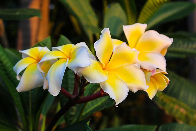 Fragrapanti, Plumeria, Open, Thailand, Flowers, Nature