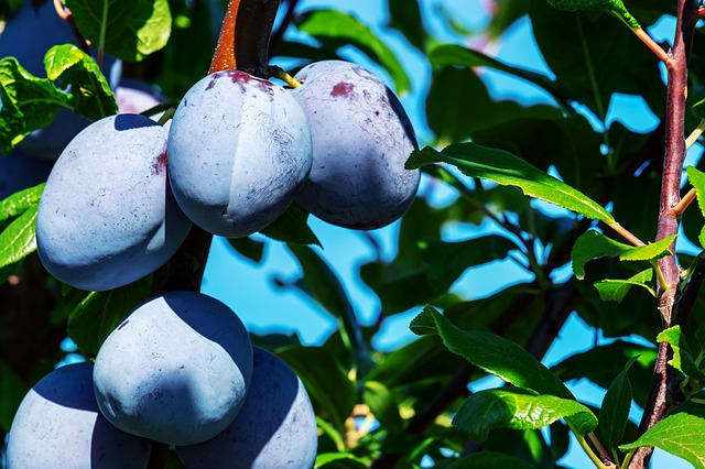 Plums, Plum Tree, Fruit, Fruits, Ripe, Healthy