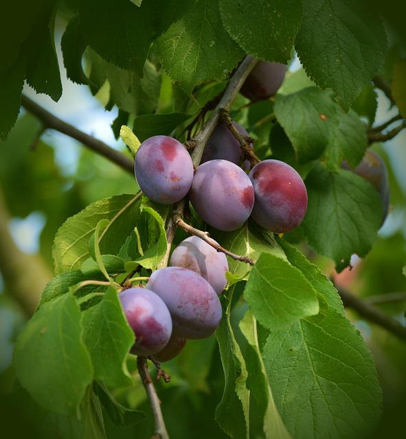 Plums, Plum Tree, Fruit Tree, Fruit, Road, Tree, Branch