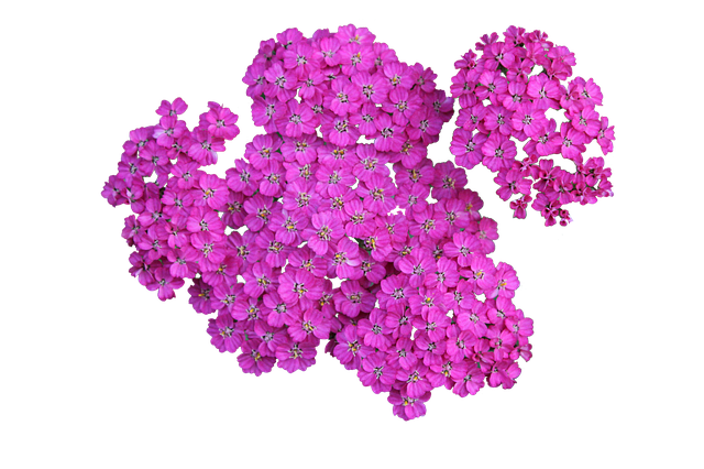 Plant, Achillea, Png, Yarrow, Blossom, Flower