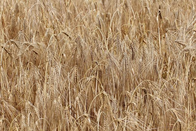 Barley, Hordeum Vulgare, Grass, Poaceae, Cereals, Crop
