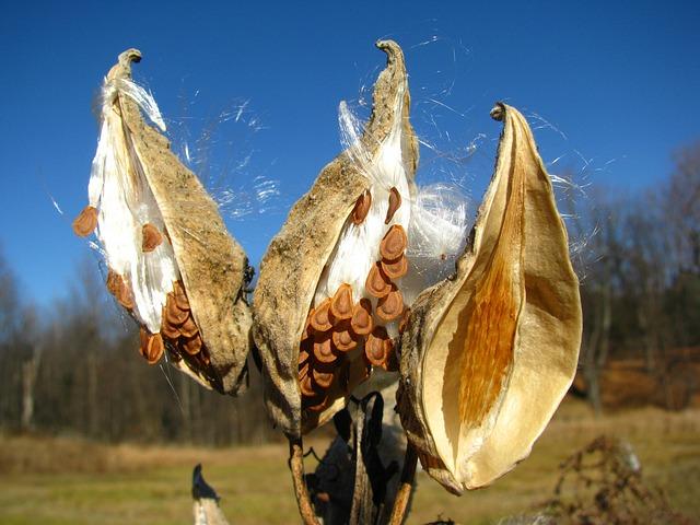 Pod, Milkweed, Seed, Autumn