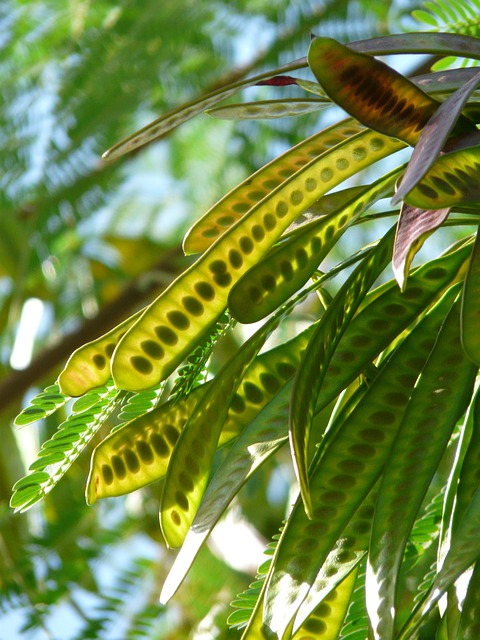 Seeds, Pods, Acacia, Acacia Karroo, Hawthorn