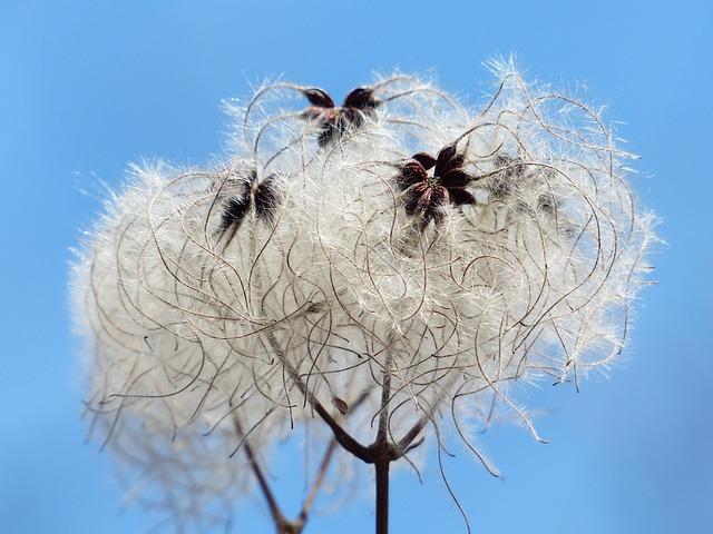 Clematis Vitalba, Pods, Soft, Fluffy, Seeds, Liane