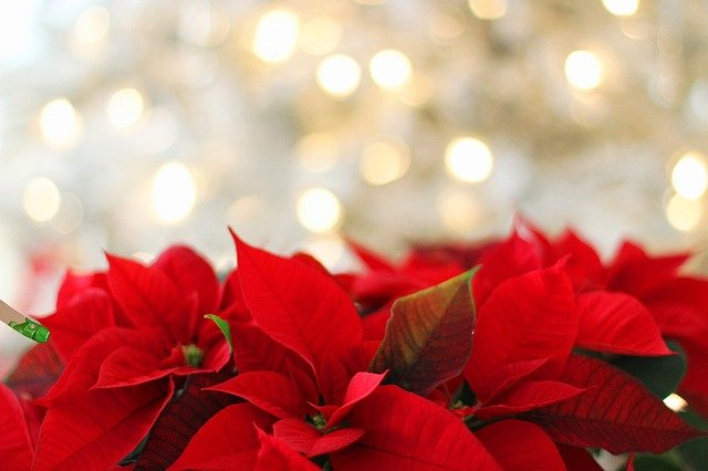 Poinsettia, Christmas, Christmas Background, Red