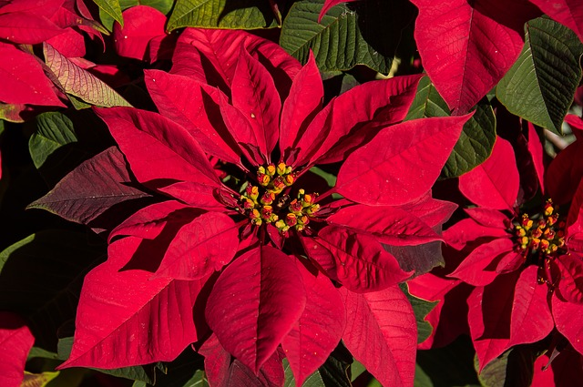 Poinsettia, Leaves, Flowers, Red, Bright, Christmas