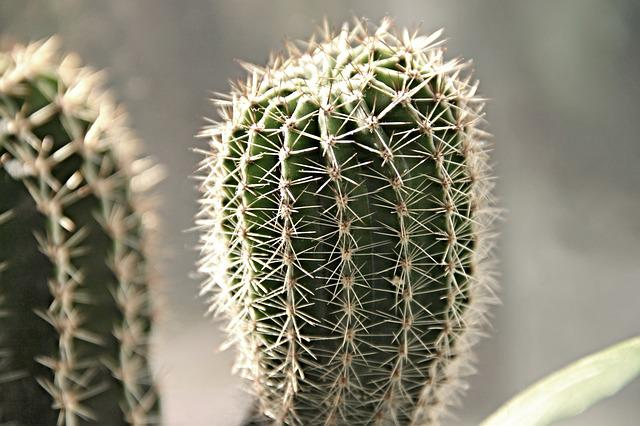 Cactus, Spiny, Spur, Prickly, Plant, Thorns, Pointed