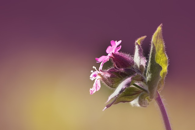 Campion, Red Campion, Pointed Clove, Silene Dioica