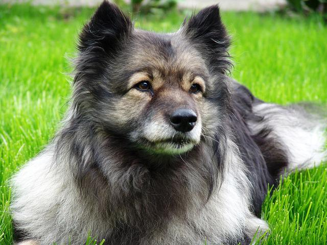 Keeshond, Dog, Pet, Animal Portrait, Dog Breed, Pointed