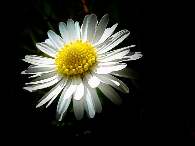 free photo from below plant flower daisy white perspective  max pixel, Beautiful flower