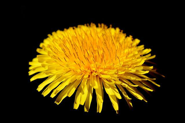 Dandelion Flower, Dandelion, Flower, Pointed Flower