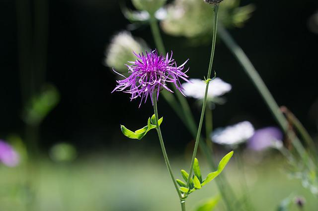 Meadow, Natural Lawn, Flower, Pointed Flower