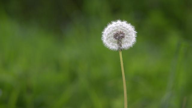 Dandelion, Green, Macro, Nature, Pointed Flower