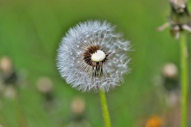 Dandelion, Nature, Plant, Flower, Seeds, Pointed Flower