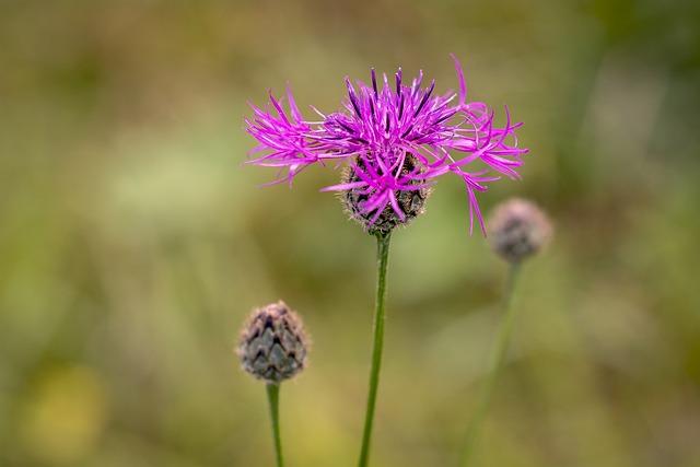 Flower, Pointed Flower, Wigs Knapweed