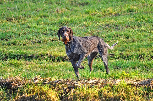 German Wire Haired Pointer, Pointer, Hunting Dog