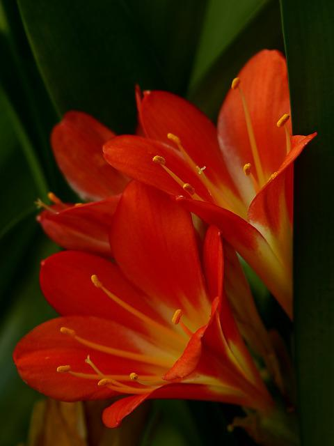 Amaryllis, Poisonous Plant, Ornamental Plant