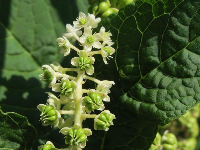 Phytolacca Americana, Americna Pokeweed, Pokeweed