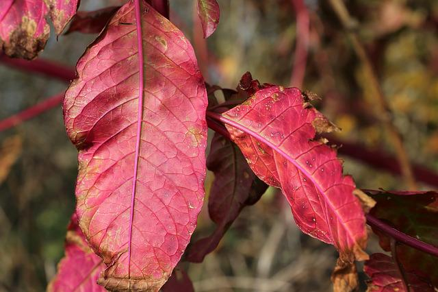 Red Leaf, Pokeweed, Phytolacca Americana, Plant