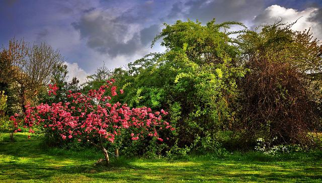 Paradise Tree, Garden, Spring, Poland, Shrubs, Pink