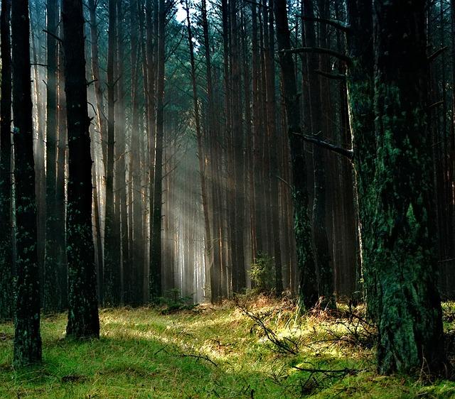 Forest, The Sun, Morning, Tucholskie, Poland, Summer