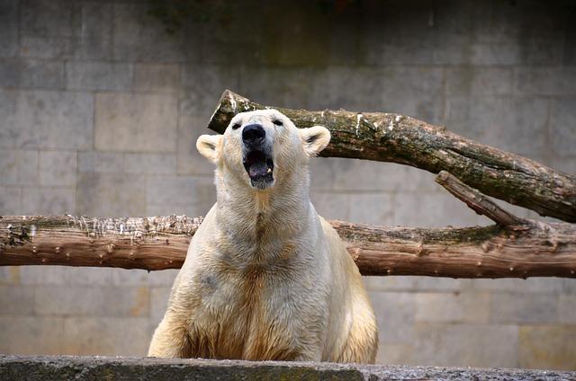 Polar Bear, Roar, Growl, Ursus Maritimus, Predator Kind