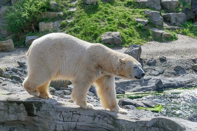 Polar Bear, Zoo, White Bear, Predator, Fur