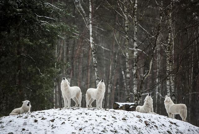 Polarwolf, Wolf, Wilderness, White, Forest, Winter