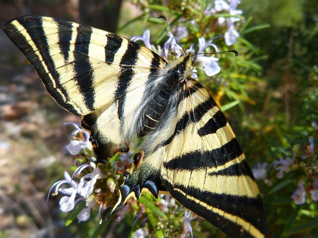 Polidario, Scarce Swallowtail, Butterfly