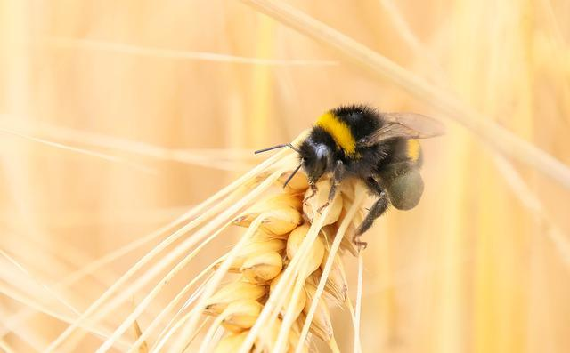 Insect, Bourdon, Macro, Wheat, Bee, Nature, Pollen
