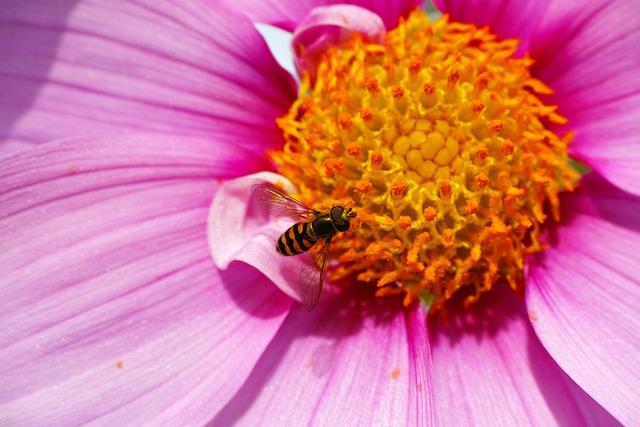 Hoverflies, Cosmos, Pollen, Macro