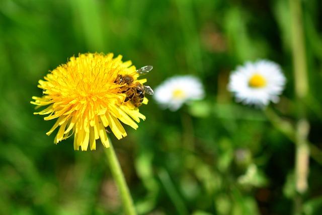 Dandelion, Bee, Sprinkle, Pollen, Nature, Grass, Meadow