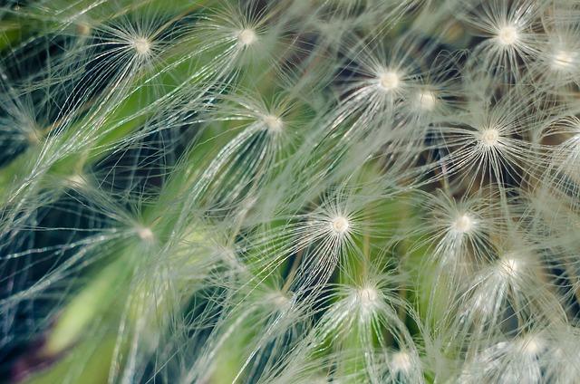Dandelion, Flower, Flowers, Pollen, Macro, Seeds