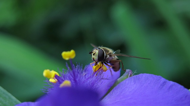Hover Fly, Three Master Flower, Pollen, Food, Insect