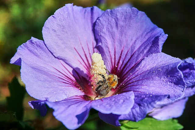 Hibiscus, Hummel, Pollen, Close Up, Purple, Pollination