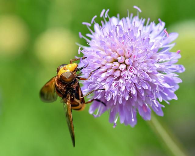 Hoverfly, Forage, Pollen, Insect, Flower, Purple