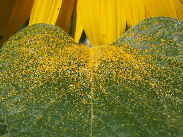 Leaf, Pollen, Sunflower Leaf, Yellow, Bee Pollen