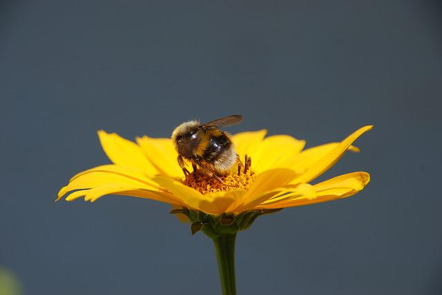 Nature, Flower, Yellow, Bug, Bumblebee, Pollen