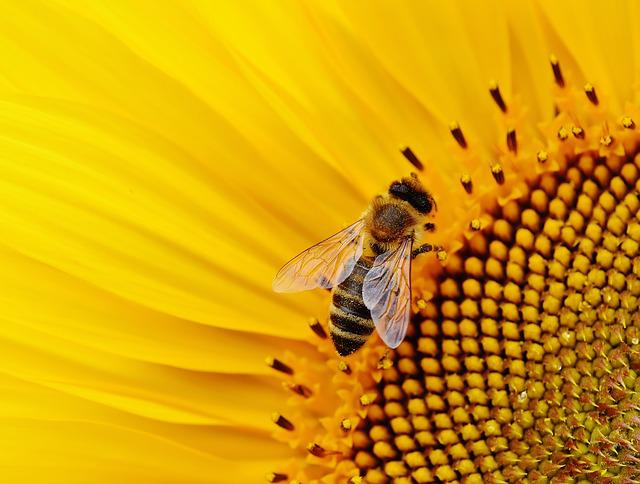 Sunflower, Bee, Macro, Pollen, Pollinate, Pollination